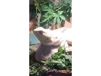 Adult Bearded Dragon with Vivarium For Sale