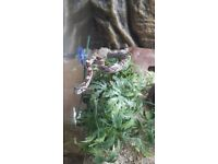 Young corn snake with full set up