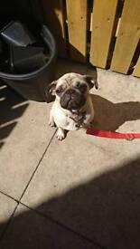 Pug dog kcg registered
