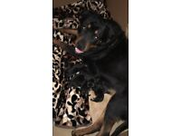 5 Large Rottweiler Puppies for Sale 3 girls and two boys