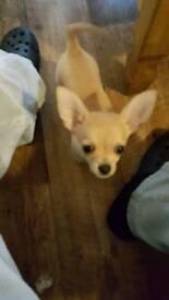 Chihuahua Puppy Male