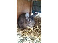 Female Netherland dwarf X lop for sale