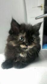 Beautiful Maine Coon Female Kitten
