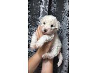 ***Beautiful Bichon Frise Puppies***