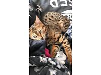 Bengal kitten male