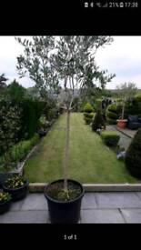 Large Olive trees