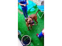Boxer cross dog approx 2 £50