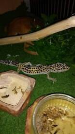 complete setup for leopard geckos or other reptiles