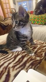 Very beautiful tabby boy is ready to meet his new, loving and caring forever family