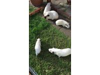 Pure bred Himalayan guinea pigs for sale
