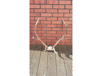 Deer antlers, 8 point with partial skull