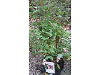 Symphoricarpos (Snowberry)