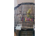 3 Budgies with cage and all accessories for £30.00