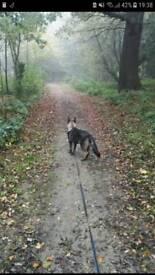 6 month Female German Shepard X husky puppy