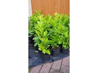 Laurel shrubs/hedging hedge in pots