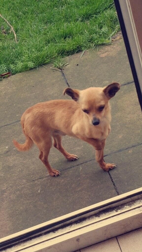 Miniture applehead Chuiwawah for sale 2 years old lovley friendly dog