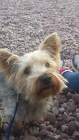 HELP NEED FOR OUR GORGEOUS YORKSHIRE TERRIER