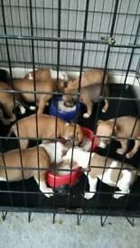 9 stunning staffy pups