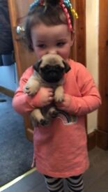 PUG PUPPIES BEAUTIFUL LITTLE BUNDLES OF JOY , READY TO GO TO NEW HOMES NOW