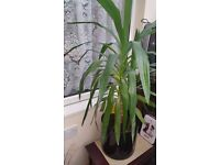 Yucca Tree Houseplant - Approx 4 foot tall - Healthy and looks great!