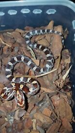 Corn Snakes... Beautiful colours and patterns...
