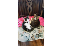 2 Lovely, very friendly female kittens for sale as a pair