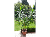 BARGAIN!!!! LARGE YUCCA PLANT (8FT plus) HOUSE/CONSERVATORY/OFFICE