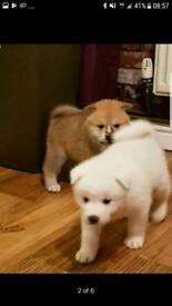 Japanese akita inu puppies puppys