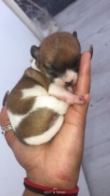 Male chihuahua puppy