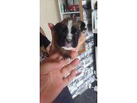 Stunning Full pedigree, kc registered chunky boxer puppies