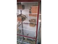 zebra finches with cage whole set up