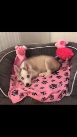 Siberian Husky Puppy for sale 9week Old.. Only to a good home!