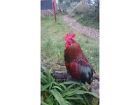 Cockerels including bantams various free to good home