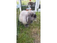 Rabbit doe for sale