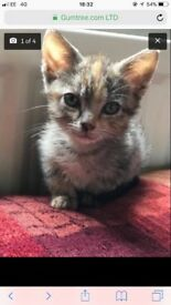 10 Week Old Female Tortoishell Kitten