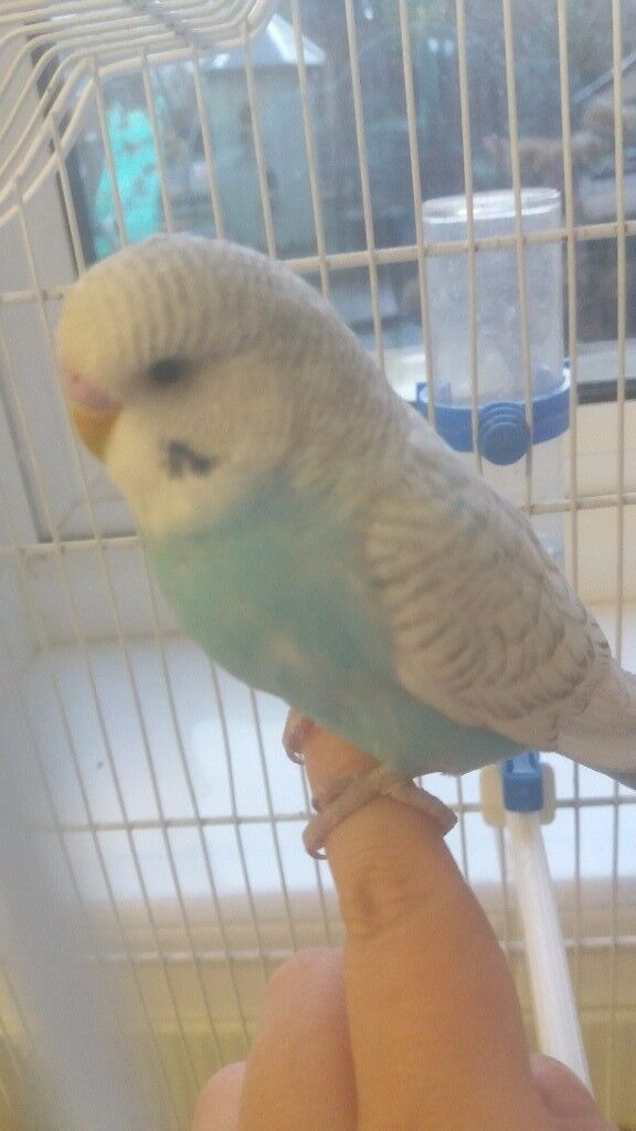 Baby budgie, cage and free delivery
