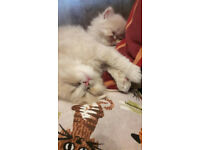 Cuddly Persian kittens looking for new homes. 11 weeks old