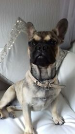 KC french bulldog girl Reduced