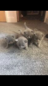 British short haired (BSH) kittens stunning & kind natured