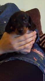 Kc reg miniature daschund puppies pra clear