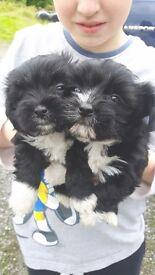 Lhasa apso x mini yorkie/chihuahua NON SHED