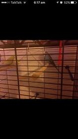 5 budgies with cage