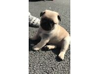 KC registered fawn pug puppies ready to leave today
