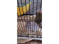 2 lovely chinchillas with cage for sale