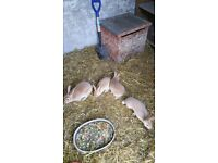 Mini Rex 2 Rabbits ready to go