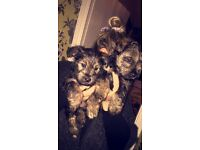 **ready now** snorkie pups