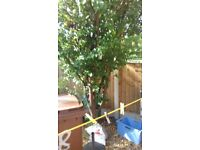 FULL SIZE PLUM TREE 10 FOOT HIGH