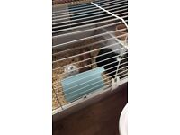 Guinea pigs two male