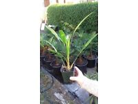 GREAT DEAL: Trachycarpus wagnerianus palm trees young 2+ year £3 OR 2 FOR £5 very hardy palms