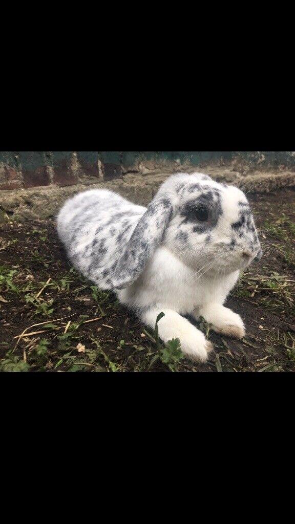 Two rabbits & huge hutch & run